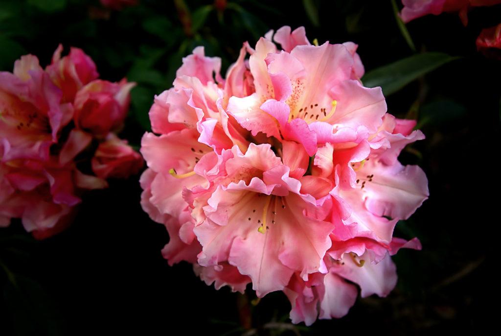 fleur rose de rhodo à thivars