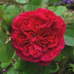 rosier fan d plantes