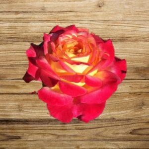 rosier pop star fan d plantes
