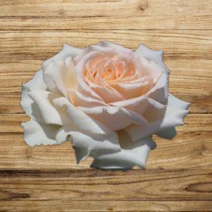 rosier sweet love fan d plantes