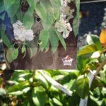 hydrangea seemani