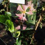 trachelospernum rose