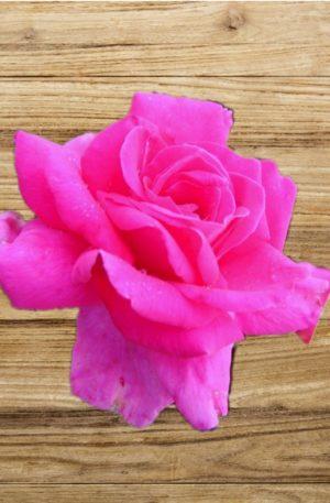 rosier critérion fan d plantes