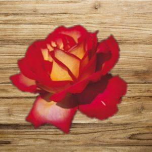 rosier mme dieudonné fan d plantes