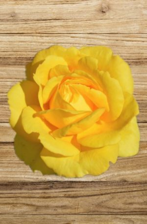 rosier all gold fan d plantes