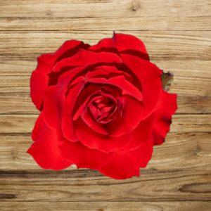 rosier dame de coeur fan d plantes