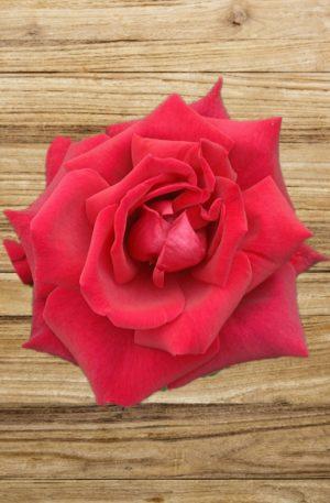 rosier ena harkness fan d plantes