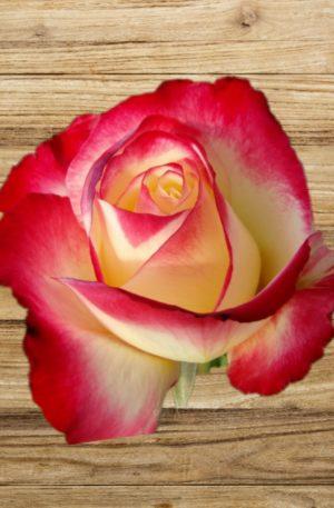 rosier double delight fan d plantes