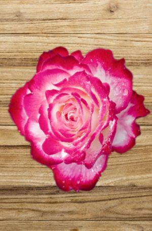 rosier jubilé prince de monaco fan d plantes