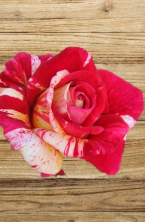 rosier brocéliande fan d plantes