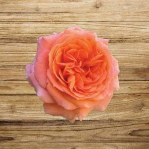 rosier amour de molène fan d plantes