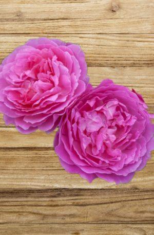 rosier baie des anges fan d plantes